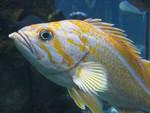 canary_rockfish_Tippy_Jackson_NOAA_FPWC.jpg