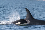 Orca_with_calf_NOAA_FPWC.jpg