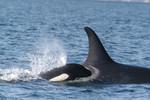 Orca_with_calf_NOAA_FPWC.jpg