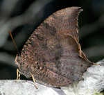 florida_leafwing_butterfly_cotinis_Flickr_Creative_Commons_FPWC_.jpg