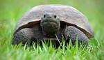 Florida_Gopher_Tortoise_Craig ONeal_Wikicommons.jpg