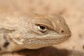 dunes_sagebrush_lizard_USFWS_FPWC.jpg