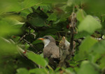 yellow-billed_cuckoo_Seabamirum_Flickr_Commons_Commercial_Use_OK_FPWC.jpg
