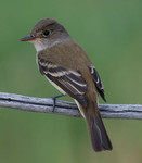 southwestern_willow_flycatcher_USFWS_FPWC.jpg