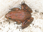 California_red_legged_frog_USGS.jpg
