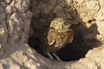 Burrowing_Owl_Alan_Vernon_CC-BY_Commercial_Use_OK.jpg
