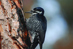 black_backed_woodpecker_USFWS_FPWC.tif