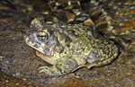arroyo_toad_Chris_Brown_1_USGS_FPWC.png