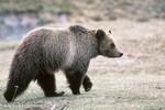 grizzly_yellowstone_national_park_Kim_Keating_USGS_FPWC.jpg
