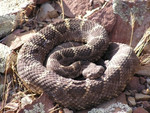 Arizona_Black_Rattlesnake_Erika Nowak_USGS_FPWC .jpg