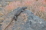Common_Chuckwalla_USFWS_FPWC.jpg
