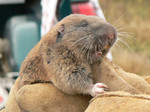 Mazama_pocket_gopher_Kim Flotlin_USFWS.jpg