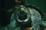 Alligator_snapping_turtle_Christopher_Evans_Flickr_Commons_CC_BY_FPWC.jpg