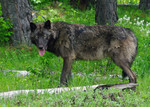 OR_Mt_Emily_male_wolf_brown_May_25_14_odfw_.jpg