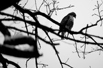 Red_tailed_hawk_Central_Park_Charles_Hoffman_FPWC.jpg