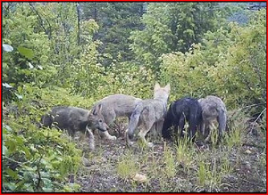 Huckleberry_pack_pups_Washington_Department_of_Fish_and_Wildlife_FPWC.JPG