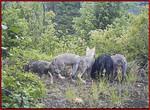 Huckleberry_pack_pups_Washington_Department_of_Fish_and_Wildlife_FPWC.JPG