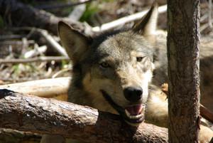 diamond_pack_female_June_2010_Washington_Department_of_Fish_and_Wildlife_FPWC.jpg