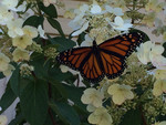 monarch_butterfly_collette_adkins_Center_for_Biological_Diversity_FPWC.JPG