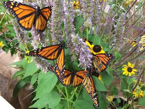 monarch_butterfly_Collette_Adkins_CBD_FPWC.jpg