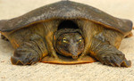 A_young_Florida_softshell_turtle_(Apalone_ferox)_-_Flickr_-_Andrea_Westmoreland_CC_BY-SA.jpg
