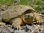 Common_Snapping_Turtle_Close_Up_Dakota_L_CC_BY-SA_FPWC.jpg