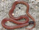 Rim_Rock_Crowned_Snake_Tantilla_oolitica_Dustin_C_Smith_Florida_Fish_and_Wildlife_Conservation_Commission_FPWC.JPG
