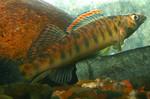 Roanoke-logperch-Conservation-Fisheries.jpg