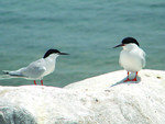 Roseate_Tern_Great_Gull_Island_NY_Sarah_Nystro_USFWS_FPWC.jpg
