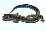Shenandoah_salamander_Brian_Gratwicke_flickr_CC_BY_FPWC.jpg