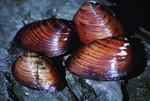 clubshell_mussel_Pleurobema_clava_Craig_Stihler_USFWS_FPWC.jpg