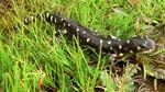 California_Tiger_Salamander_USFWS.jpg