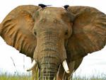 African_Savannah_Elephant_Loxodonta_africana_Bernard_Dupont_FPWC_CC_BY_SA.jpg