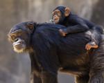 chimpanzee_Robert_Moran_CC_BY.jpg