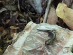 Caddo_Mountain_salamander_Erin_Leone_USFWS.jpg