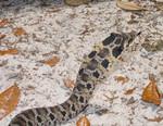 Southern_Hog_nosed_snake_pondhawk_Flickr_CC_BY_FPWC.jpg