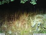 Jaguar_2012_10_25_USFWS_FPWC.jpg