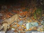 Jaguar_2012_11_10_USFWS_FPWC_2.jpg
