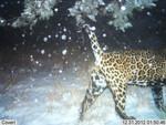 Jaguar_2012_12_31_USFWS_FPWC_2.jpg
