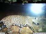 Jaguar_2013_05_29_USFWS_FPWC_2.jpg