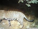 Jaguar_2013_05_31_USFWS_FPWC_.jpg