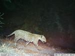 Jaguar_2013_06_17_USFWS_FPWC_2.jpg