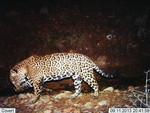 Jaguar_2013_09_11_USFWS_FPWC_.jpg