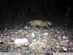 Jaguar_2013_10_22_USFWS_FPWC_.jpg