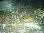 Jaguar_2014_02_10_USFWS_FPWC_.jpg