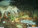 Jaguar_2014_03_01_USFWS_FPWC_.jpg