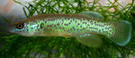 Barrens_topminnow_J_R_Shute_Conservation_Fisheries_Inc_FPWC.jpg