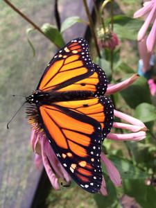 Monarch Butterfly Tierra Curry.JPG