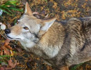 Red_Wolf_2_B_Bartel_USFWS_FPWC.jpg