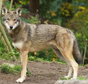 Red_Wolf_3_B_Bartel_USFWS_FPWC.jpg